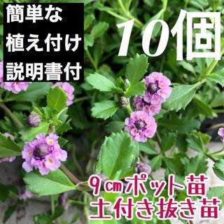 ★ヒメイワダレソウ ピンク10個 土付抜き苗 9㎝ポット(6㎝ポット苗22個相当(その他)