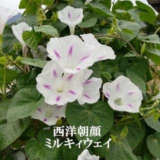 春まき花の種  西洋朝顔「ミルキーウェイ」の種を30粒以上(その他)