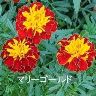春まき花の種 マリーゴールドを50粒以上 コンパニオンプランツ(その他)