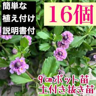 ★ヒメイワダレソウ ピンク16個 土付抜苗 9㎝ポット 7.5㎝ポット27個相当(その他)