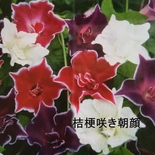 春まき花の種  朝顔「桔梗咲き混合」の種を30粒以上(その他)