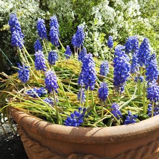 ムスカリの球根♪可愛くて癒される花♪ブルー♪(40球根以上)(その他)