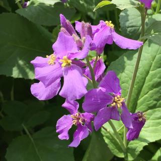 紫花菜の種(その他)