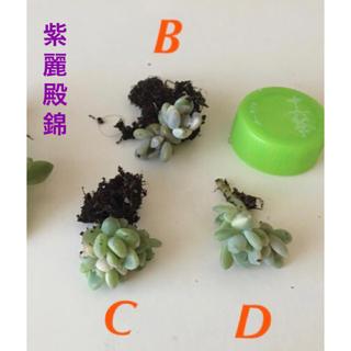 ★超レア★【葉挿しっ子】紫麗殿錦(パキフィツム)BCDいずれか1つ/(多肉植物)(その他)
