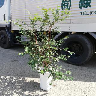 ジャボチカバ 中葉種(耐寒性) 7号 90cm前後~(フルーツ)