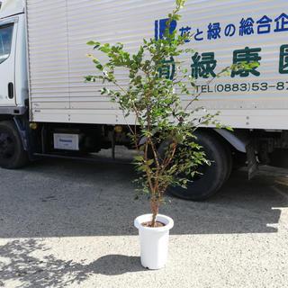 ジャボチカバ 中葉種(耐寒性) 7号 110cm前後~(フルーツ)