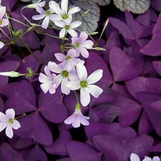 オキザリス・トリアングラリス 紫の舞い(その他)