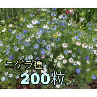 ニゲラ タネ 200粒以上(ドライフラワー)