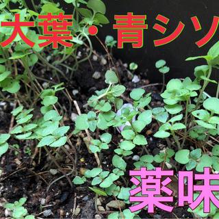 大葉❤️苗5本❤️ミント苗おまけ付き❤️赤ちゃん苗❤️野菜苗(野菜)