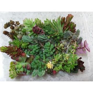 多肉  レア品種・セダム等34品種 紅葉が綺麗なカット苗 ①(その他)