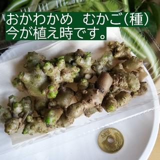 オカワカメ ムカゴ 約100g (20個ぐらい入ります)(野菜)