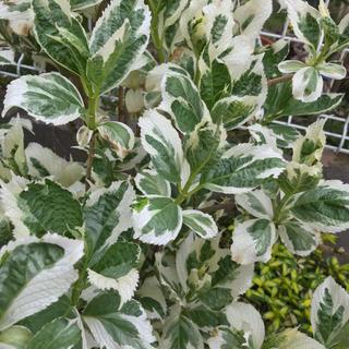 葉芸❣️斑入りアジサイ 挿し木用1本 紫陽花 庭木 山野草(プランター)