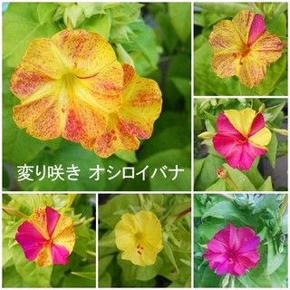 春まき花の種 「変わり咲き オシロイバナ」の混合種を50粒以上(その他)