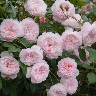 バラ苗 人気品種 ER 四季咲き つる 薔薇(その他)