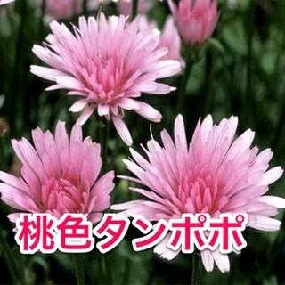 桃色タンポポ レア ピンクのタンポポ 種子15粒(その他)
