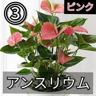 【アンスリウム③】ピンク 種子20粒(その他)