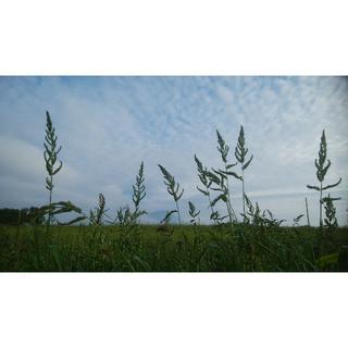 【コロナを吹き飛ばセール】ヒエ乾燥粒(野生種) 200g 北海道から送料無料  (鳥)