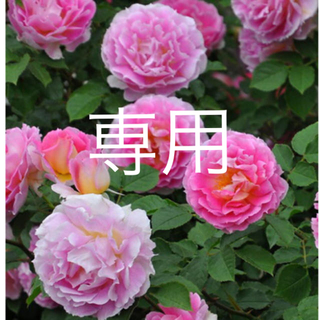 強香❣̈薔薇挿木苗(その他)