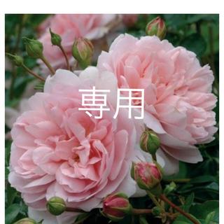 イングリッシュ❣̈挿木苗(その他)
