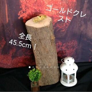 レア物♪新潟県のゴールドクレストの生木丸太です(その他)