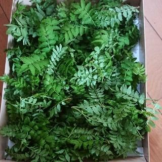山椒の新芽 木の芽 50枚ちょっと(野菜)