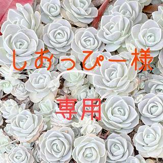 しおっぴー様専用 お米 令和元年 愛媛県産にこまる 白米 20㎏(米/穀物)