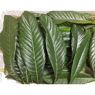 ビワの葉 20枚 サイズ色々(フルーツ)