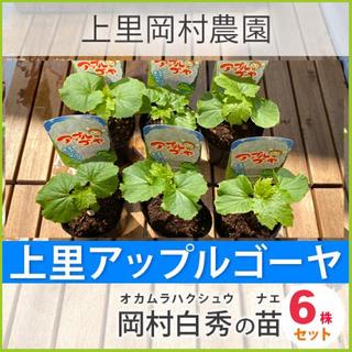 2912【HN6】送料込みお得!上里岡村農園寅さんのアップルゴーヤ白秀の苗6株(野菜)