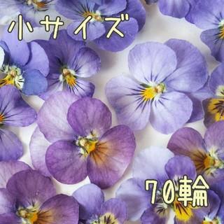 【パープルビオラ】70輪 ドライフラワー(ドライフラワー)