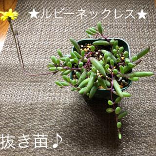 多肉植物、ルビーネックレス、根付き、抜き苗♪(その他)