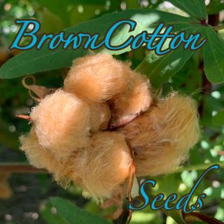 ブラウンコットンの種30粒(その他)