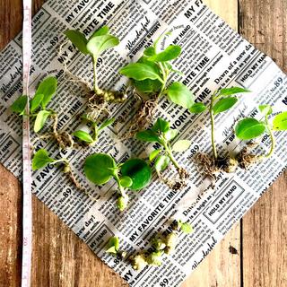 無農薬◆オカワカメ◆雲南百薬◆苗×③むかご×⑤セット◆(野菜)