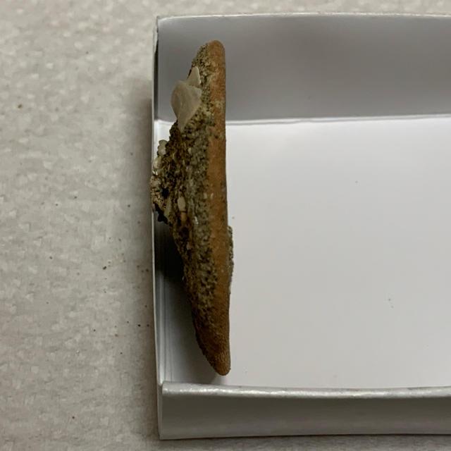 ハスノハカシパン 化石 インテリア/住まい/日用品のインテリア小物(置物)の商品写真