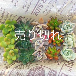多肉植物   カット苗  5種類セット(その他)
