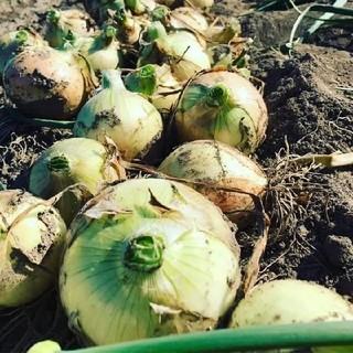 淡路島の新玉ねぎ10キロ(野菜)