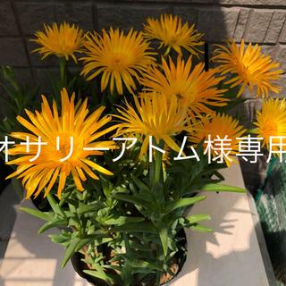 マツバギク オレンジ色 抜き苗6本(その他)