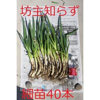 ネギ苗 坊主知らずネギ 細苗40本(野菜)