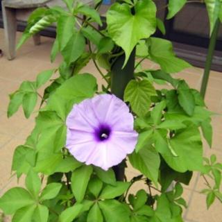 もみじ ヒルガオ 種 紫(その他)