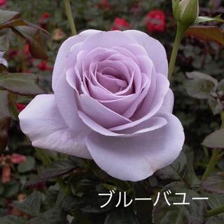 薔薇 苗 FL 藤 紫 青系 ブルーバユー(その他)