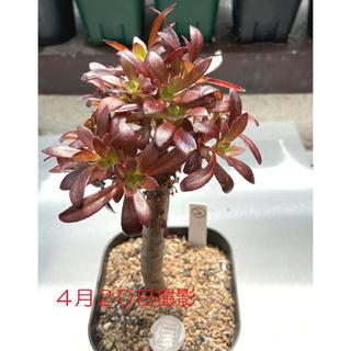 再値下げ‼️多肉植物 アエオニウム 黒法師 抜き苗 8(その他)