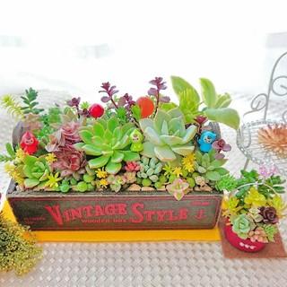 ご検討中◆多肉植物 小人達の箱庭 春の寄せ植え すぐ飾れるお得な2点セット(その他)