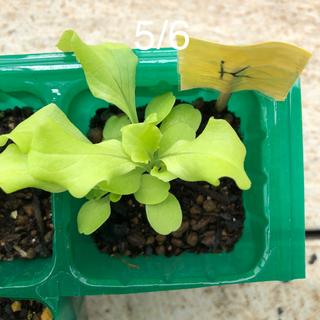 リーフレタス 4〜5苗 有機種子(野菜)