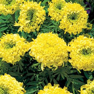 〔 マリーゴールド  スピニングレモンの芽 〕2つで530yen(プランター)