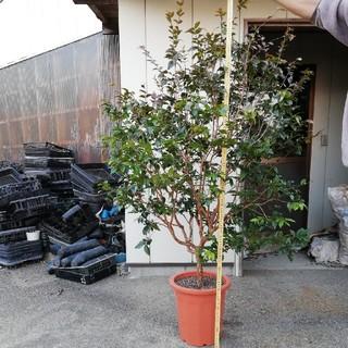 ジャボチカバ 大葉種 12号鉢 160cm前後(フルーツ)