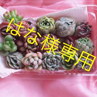 はな様専用韓国多肉植物  ミニ寄せ植えセット  16種(K)(その他)