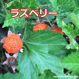 ラズベリー苗 ポット無し 木苺 オレンジ色 果樹苗 無農薬栽培☆ケーキ&生食用♪(フルーツ)