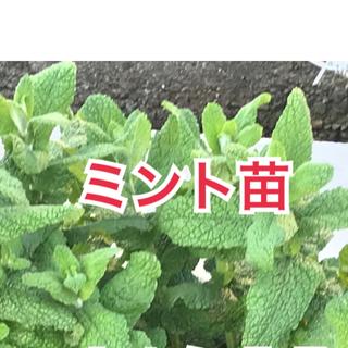 農薬無使用❣️ミント苗 根付き5本🌱(野菜)