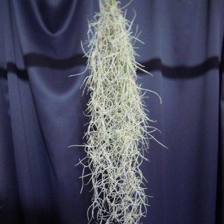 スパニッシュモス 40センチ(その他)