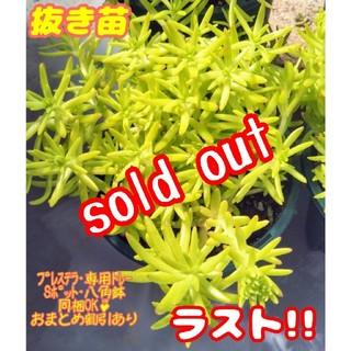 【完売】【抜き苗】ゴールドビューティ 多肉植物 セダム(その他)
