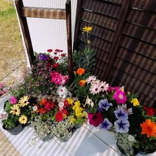 新鮮!産地直送★春から開花の花苗20苗★送料込み!!(その他)